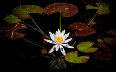 Peaceful lily (PaulBalfe) Tags: waterlily mountcoottha macro closeup botanicgardens