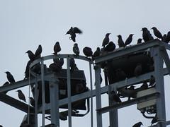 IMG_1764 (jesust793) Tags: estorninos starlings pájaros birds naturaleza nature