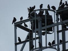 IMG_1765 (jesust793) Tags: estorninos starlings pájaros birds naturaleza nature