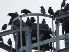 IMG_1769 (jesust793) Tags: estorninos starlings pájaros birds naturaleza nature