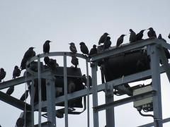 IMG_1773 (jesust793) Tags: estorninos starlings pájaros birds naturaleza nature