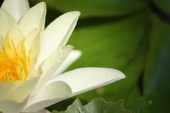 IMG_2449 (lyrasilvertongue1) Tags: flower water green closeup macro lily yellow light soft gentle plant nature petal pretty