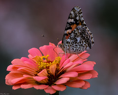Sipping nectar (Fred Roe) Tags: nikond7100 nikonafsnikkor200500mm156eed nature naturephotography national wildlife wildlifephotography animals insect butterfly paintedlady vanessacardui colors outside flickr feet backyard