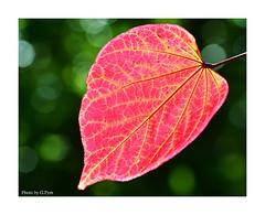 Autumn leaf (Graham Pym On/Off) Tags: leaves leaf red autumn flora nikon d7100 devon bokeh sigma105mm park macro coth5 fantasticnature sunrays5