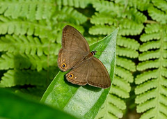 Cryptic Satyr --- Cissia terrestris (creaturesnapper) Tags: panama lepidoptera satyrinae butterflies nymphalidae cissiaterrestris insects crypticsatyr