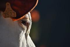 Il y a parfois tant d'humanité dans les yeux d'une bête, et tant de bêtises dans les yeux des humains... (catoche1988) Tags: vache oeil bokeh comice franchecomté cow eye animal