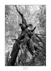 Root mix (GwenS87) Tags: 87 limousin hautevienne noiretblanc foret wood bnw panazol
