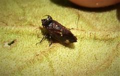 Planthopper (gailhampshire) Tags: planthopper
