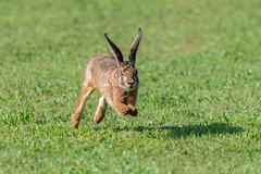 european hare/Feldhase (Senol Könnecke) Tags: hare running longears eastern eggs animal animals rabbit nikon d850 nikon200500mm nature wildlife photography hase feldhase natur tierfotografie österreich urlaub holiday austria
