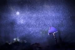 Moon (Elias macro proxy photographies) Tags: nature mushroom champignon moon lune eau water pluie ambiance bleu blue canon6d sigma105macro coprin