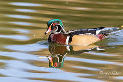 October 12, 2019 - A wood duck on a nice morning. (Tony's Takes)