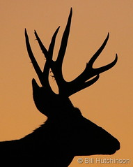 October 12, 2019 - Mule deer silhouette. (Bill Hutchinson)