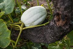 Kürbis wächst auf einem Baum (Ivan Radic) Tags: agrarwirtschaft baum kürbis landwirtschaft pumpkin agribusiness agriculture countryside farmbauernhof farming growing tree wachsen wächst canoneosm50 sigma2470mmf28dgoshsmart