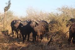 Buffalo (Rckr88) Tags: krugernationalpark southafrica kruger national park south africa buffalo buffalos animal animals nature naturalworld outdoors wilderness wildlife