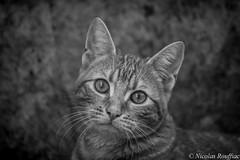 Titus (Nicolas Rouffiac) Tags: chat cat portrait nb bw animal félin feline monochrome