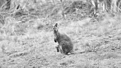 Joey (Keith Midson) Tags: wallaby joey kangaroo tasmania australia wildlife bush canon 400mm