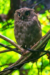 Vermiculated Screech-Owl (Christian Sanchez Photography) Tags: owl dayowl owlnight costaricaowl costaricabirds costaricabird costarica costaricawild costaricawildlife neotropical naturaleza nature nationalgepgraphic neotropicalbirds nationalparkusa neotropic wildlife waterbirds wildphoto wildanimal wildfrog woodpecker
