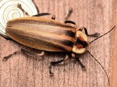 14 mm femme fatale lightning bug (ophis) Tags: coleoptera polyphaga elateriformia elateroidea lampyridae photurinae photuris femmefatalelightningbug