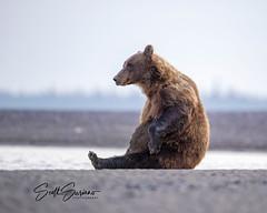 Monday Blues... (DTT67) Tags: coastalbrownbear grizzlybear bear 1dxmkii canon alaska nature wildlife