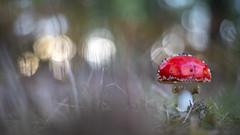 Vliegenzwam .(Amanita muscaria) (look to see) Tags: vliegenzwam amanitamuscaria sintmaartensheide beek bree belgium bos paddestoel mushroom vintagelens asahioptcoautotakumar55mmf2 bokehlicious herfst fall red rood fungi 2019