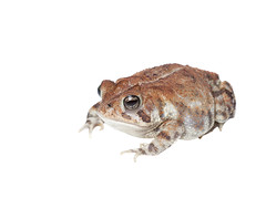 Southern Toad on white 4 (brian.magnier) Tags: wildlife animals nature outdoors florida fl usa white background meet your neighbors macro