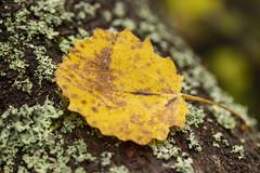 Gul (Steffe) Tags: gul yellow wordoftheday leaf autumn höst fall