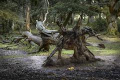 Natures abstract art (BarryTurnerPhotography) Tags: barryturner oak trees newforest hampshire uk england shapes nature nikond810 nikkor24120mm landscape
