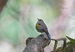 Looking Cutie.... (Anirban Sinha 80) Tags: nikon d610 fx 500mm f4 ed vrii n g bird bokeh nature natural national park wildlife