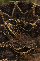 Eastern Diamondback (Crotalus adamanteus) (Ian Deery) Tags: macro closeup ian adult head snake sony profile large scales eastern rattlesnake venomous deery venom diamondback crotalus 70mm adamanteus sigma