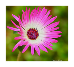 Livingstone Daisy (Graham Pym On/Off) Tags: d7100 devon daisy petals pollen pink macro sigma105mm stigma floral flower coth5 coth greatphotographers sunrays5