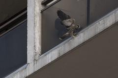 (The Transit Photographer) Tags: birds raptors falcons peregrinefalcons wildperegrinefalcons thehappycouple fredandwilma juvenile fledglings playtime