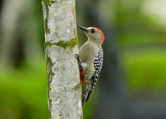 Red-crowned Woodpecker --- Melanerpes rubricapillus (creaturesnapper) Tags: panama woodpeckers birds redcrownedwoodpecker melanerpesrubricapillus