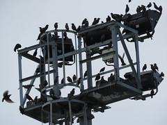 IMG_1761 (jesust793) Tags: estorninos starlings pájaros birds naturaleza nature