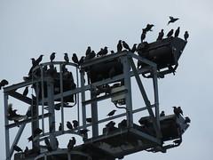 IMG_1762 (jesust793) Tags: estorninos starlings pájaros birds naturaleza nature
