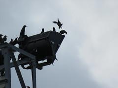 IMG_1766 (jesust793) Tags: estorninos starlings pájaros birds naturaleza nature