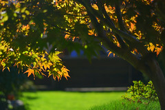maple colors (Slávka K) Tags: mygarden light sunnyday green autumn colors shadows atmosphere 2019 nikon natur acer maple
