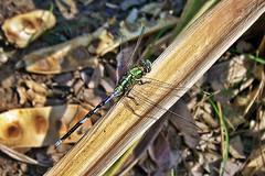 Cute !! (Lopamudra !) Tags: lopamudra lopamudrabarman lopa insect dragonfly green bhalkimachan burdwan westbengal india nature wild wilderness beauty beautiful cute