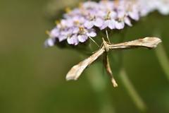 Plume moth (alirajabali187) Tags: invertebrate lepidoptera moth macrophotography nikond3500 nikon amateurphotography ukmoths plumemoth