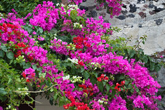 Bougainvillea (Seventh Heaven Photography - (Flora)) Tags: bougainvillea flowers flora blooms pink red white plants nikond3200 santorini greece