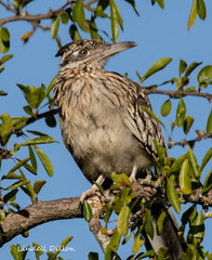 Roadrunner in a tree (Lindell Dillon) Tags: greaterroadrunner cuckoo bird birding nature oklahoma wildoklahoma