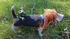 Frog on a Dog (ricko) Tags: frog bronze dog clay grass 286365 2019