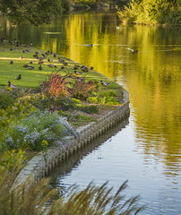 Golden Evening (HansenPrime) Tags: landscape landscapephotography water reflection pond river lake duck ducks trees plants arbor arboretum ucdavis california davis