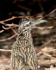 Roadrunner (Ed Sivon) Tags: america canon nature lasvegas wildlife western wild southwest desert clarkcounty vegas flickr bird henderson nevada preserve