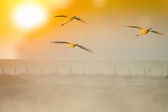 Flying into the sun (hardy-gjK) Tags: birds vögel oiseaux natur nature wildlife flug fly hardy nikon sonne sun le soleil morgen morning spatule blanche matin fog nebel dunst lbrume mist wiese meadow fence zaun