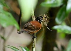 Nest building  Bay Wren --- Cantorchilus nigricapillus (creaturesnapper) Tags: panama wrens birds baywren cantorchilusnigricapillus