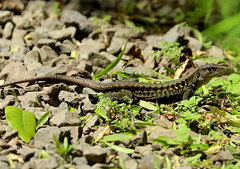 Panamanian Whiptail Lizard --- Ameiva leptophrys (creaturesnapper) Tags: panama squamata lizards reptiles panamanianwhiptaillizard ameivaleptophrys