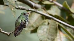 Amazilia Colirrufo - Amazilia tzacatl (Gercoja) Tags: avifauna armenia quindio colombia birding green nature amazilia colirrufo tzacatl nikon d5600 sigma 150600 f563 dg