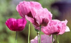 pink poppies (John (Thank you for >2 million views)) Tags: pink rosa flower flor poppy stems summer summertime bokeh crazytuesdaytheme nature