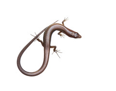 Ground Skink on white (brian.magnier) Tags: wildlife animals nature outdoors florida fl usa white background meet your neighbors macro