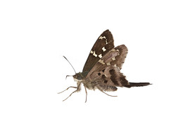 Long-tailed Skipper on white (brian.magnier) Tags: wildlife animals nature outdoors florida fl usa white background meet your neighbors macro
